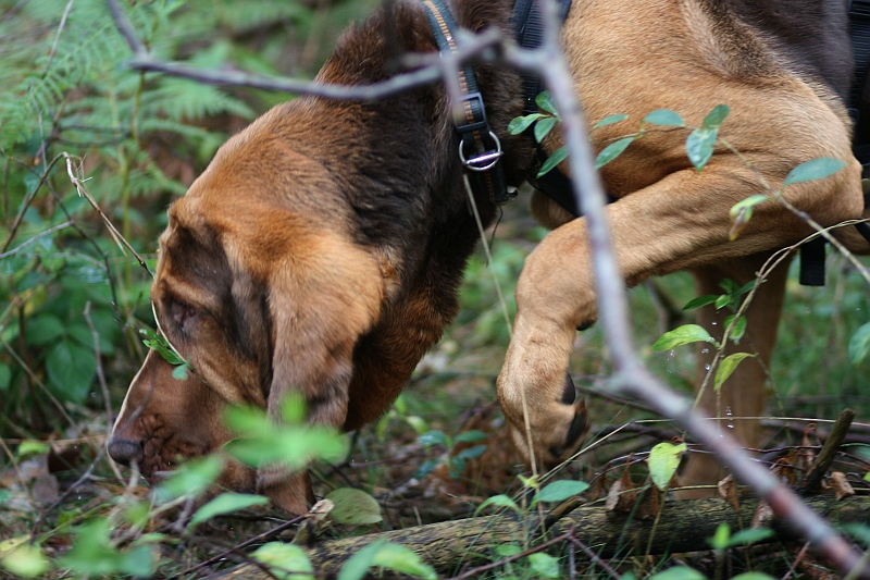 German Bloodhound Mantrailing Association
